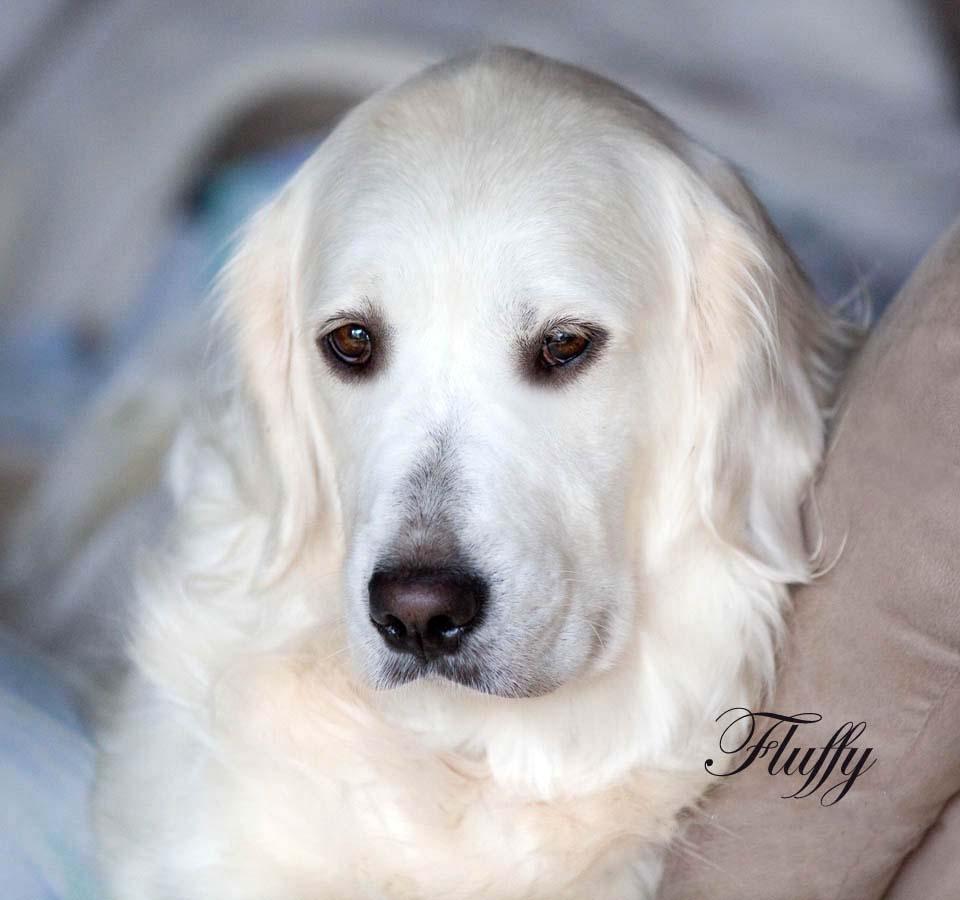 White Golden Retriever PuppiesEnglish CreamAKC Certified