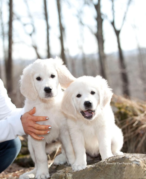 20 Golden Retriever Puppies Florida Pictures And Ideas On Meta Networks