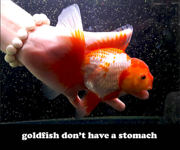 Do Goldfish have a stomach