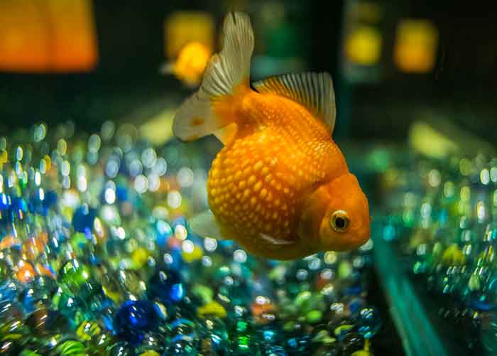 Pearlscale Goldfish