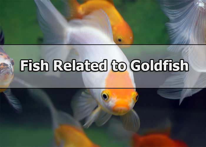 Popular Aquarium Fish Related to Goldfish