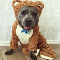 8 Reasons Why Pit Bull Might Be the Perfect Pet for You ...