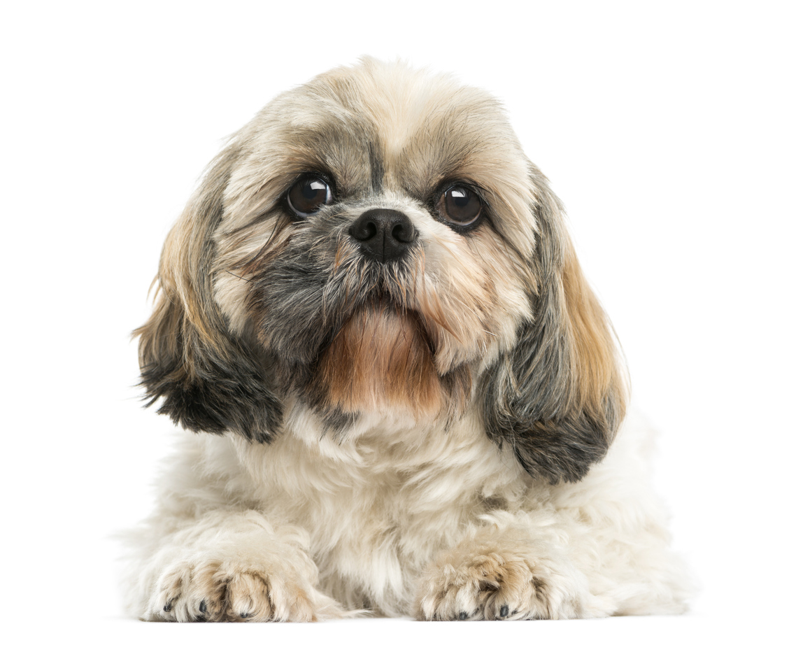 shih tzu dogs and