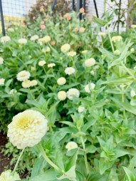 Fall Magnolia Market flowerbeds filled with zinnias