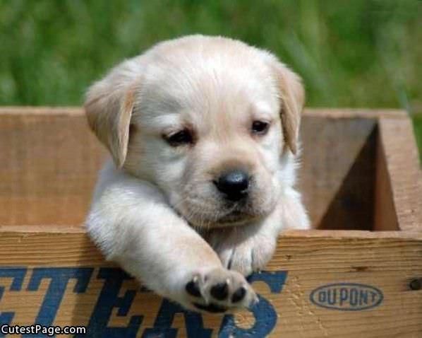 Box Cute Puppy Dog Dogs 101 Pitbulls
