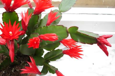 Bozicni kaktus