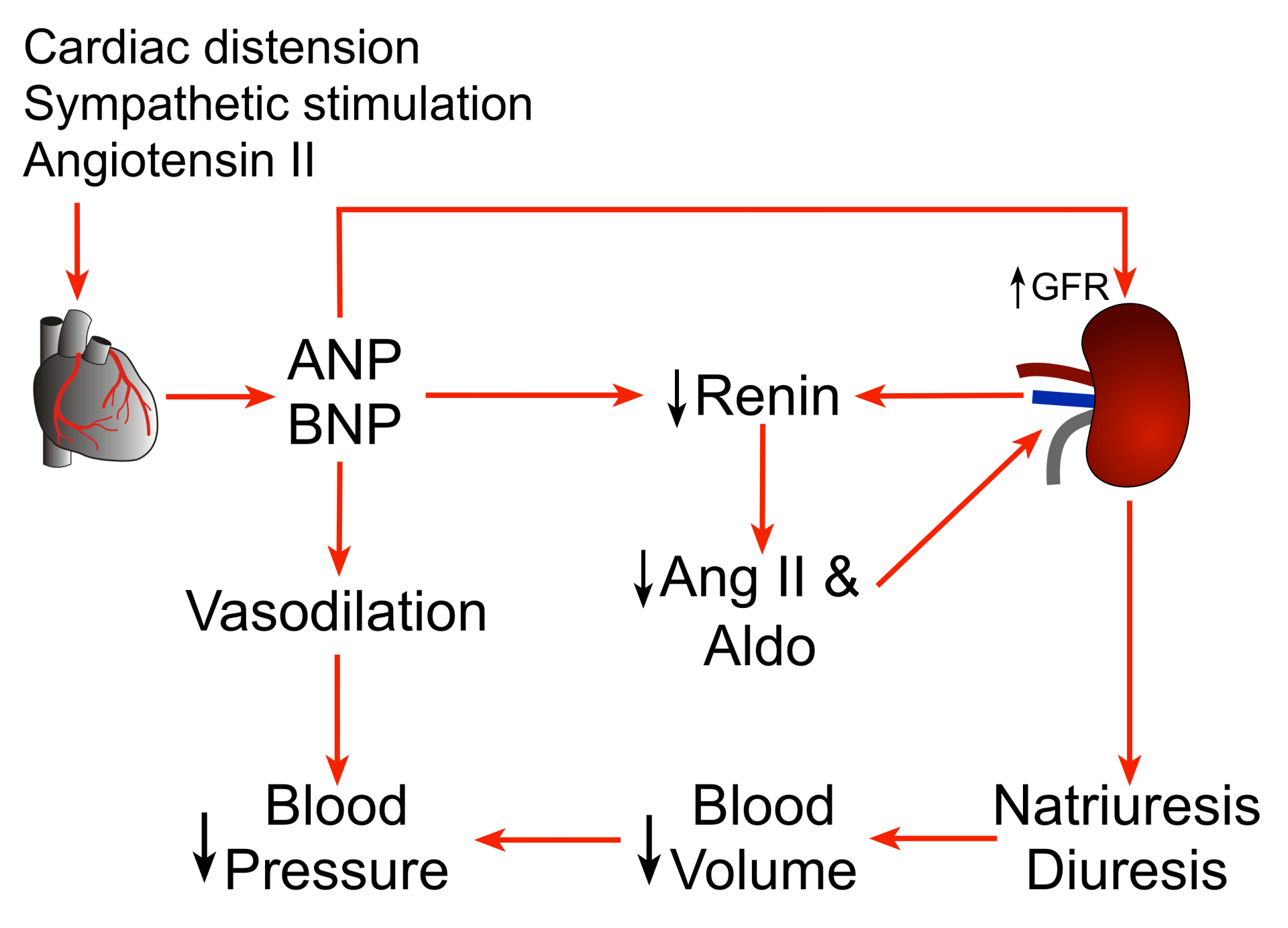 nephron diagram from a textbook prs dgt wiring cv physiology | atrial and brain natriuretic peptides