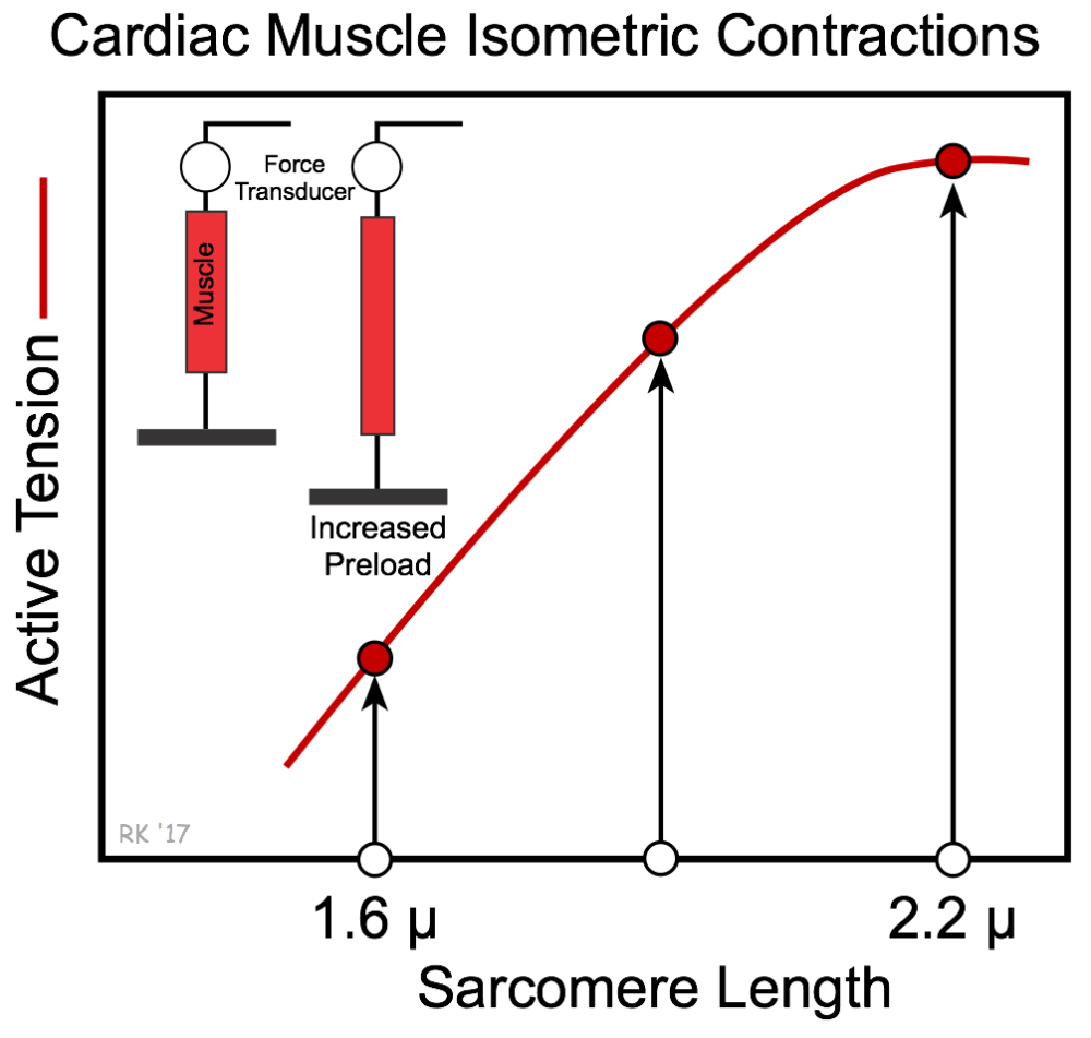 medium resolution of cardiac muscle length tension relationship