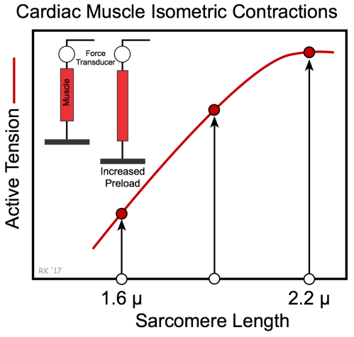 small resolution of cardiac muscle length tension relationship