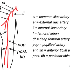 Vascular Anatomy Diagram Lower Simple Electronics Projects For Students With Circuit Cv Physiology Peripheral Arterial Occlusive Disease Leg