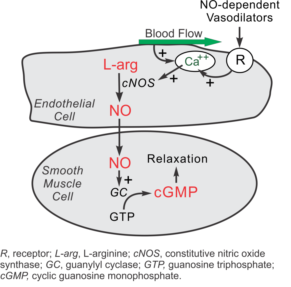 medium resolution of nitric oxide formation and metabolism