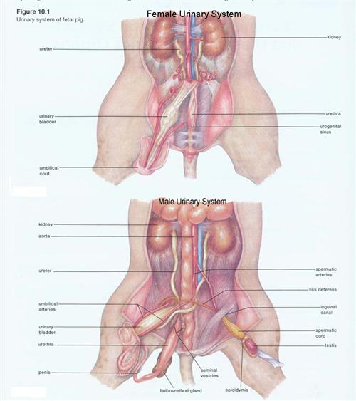 external fetal pig muscle diagram pressure switch wiring air compressor banbor velia dissection urinary comparision