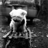 Hund auf Schlitten