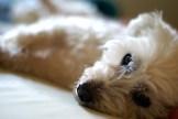 Mikey, wie er auf dem Bett liegt und süß in die Kamera blickt