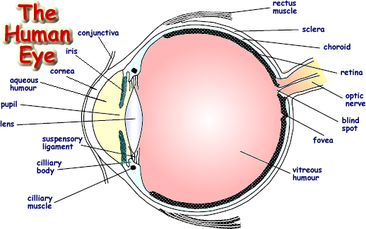 structure of human eye with diagram mpls network visio the advanced level