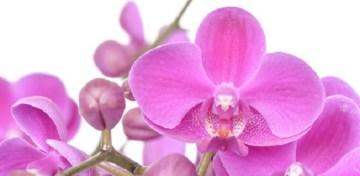 Comment prendre soin de son orchidée papillon!