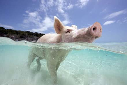 A pig goes for a dip on Pig Beach