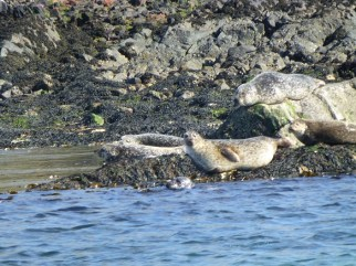 Seal spotting on our family cycling holiday to the Scottish Islands