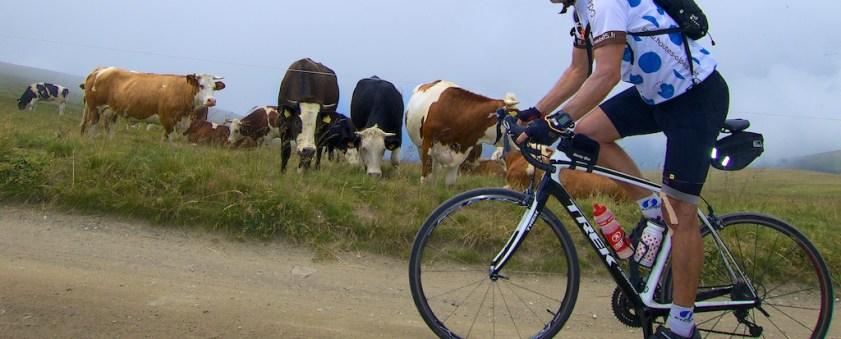 High Altitude Cows - 2300 metres