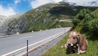 Rhone, Glacier, Furka hairpins, and a cow