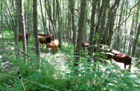 Forest cows
