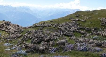 Everywhere SHEEP!