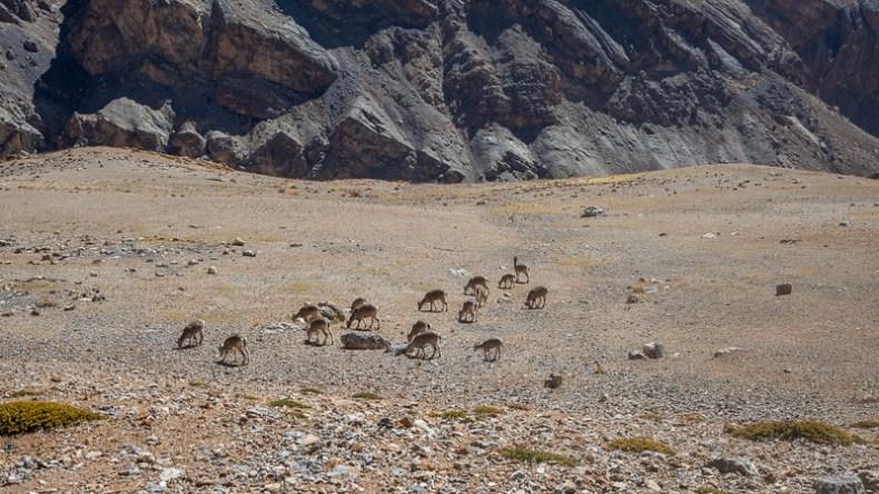 Ibex in Ladakh