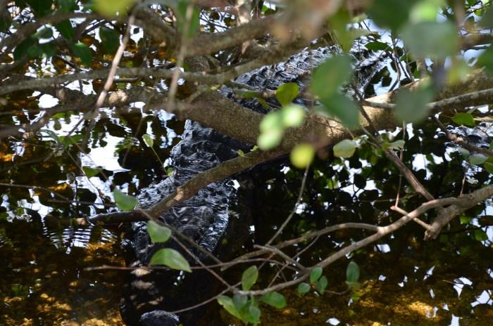 Alligators on my 150km training ride through Everglades National Park, Florida, USA