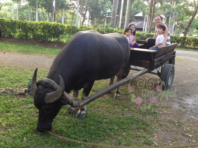 fun-farm-carabao