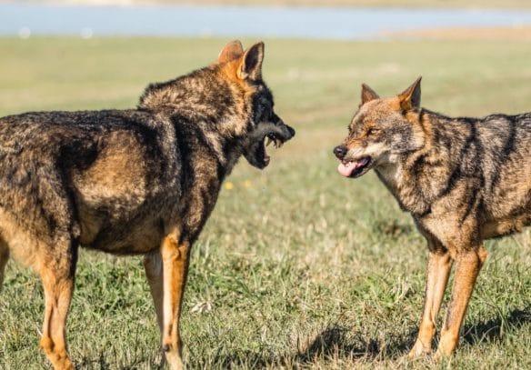 Signes d'agressivité du loup à gauche (crête, crocs sortis, tendus en avant) et signes d'apaisement du loup à droite (penché en arrière, début d'évitement)