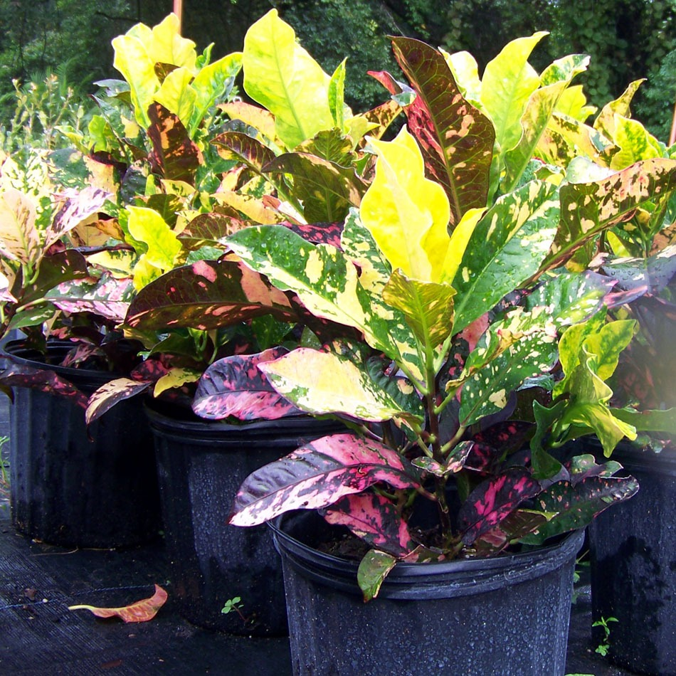 Croton Magnificent Landscape Materials Plant Nursery