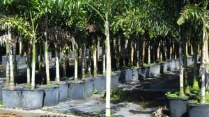 Foxtail Palm Tree Tree Nursery Home Garden Center In