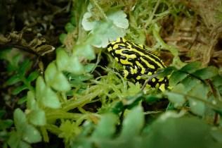 Požáry nepostihly v Austrálii jen vačnatce či ptáky, ale také další skupiny živočichů, třeba tuhle malou žabku s velkým příběhem, paropuchu corroboree.