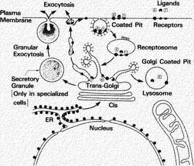 Receptor Mediated Endocytosis—Internalization steps