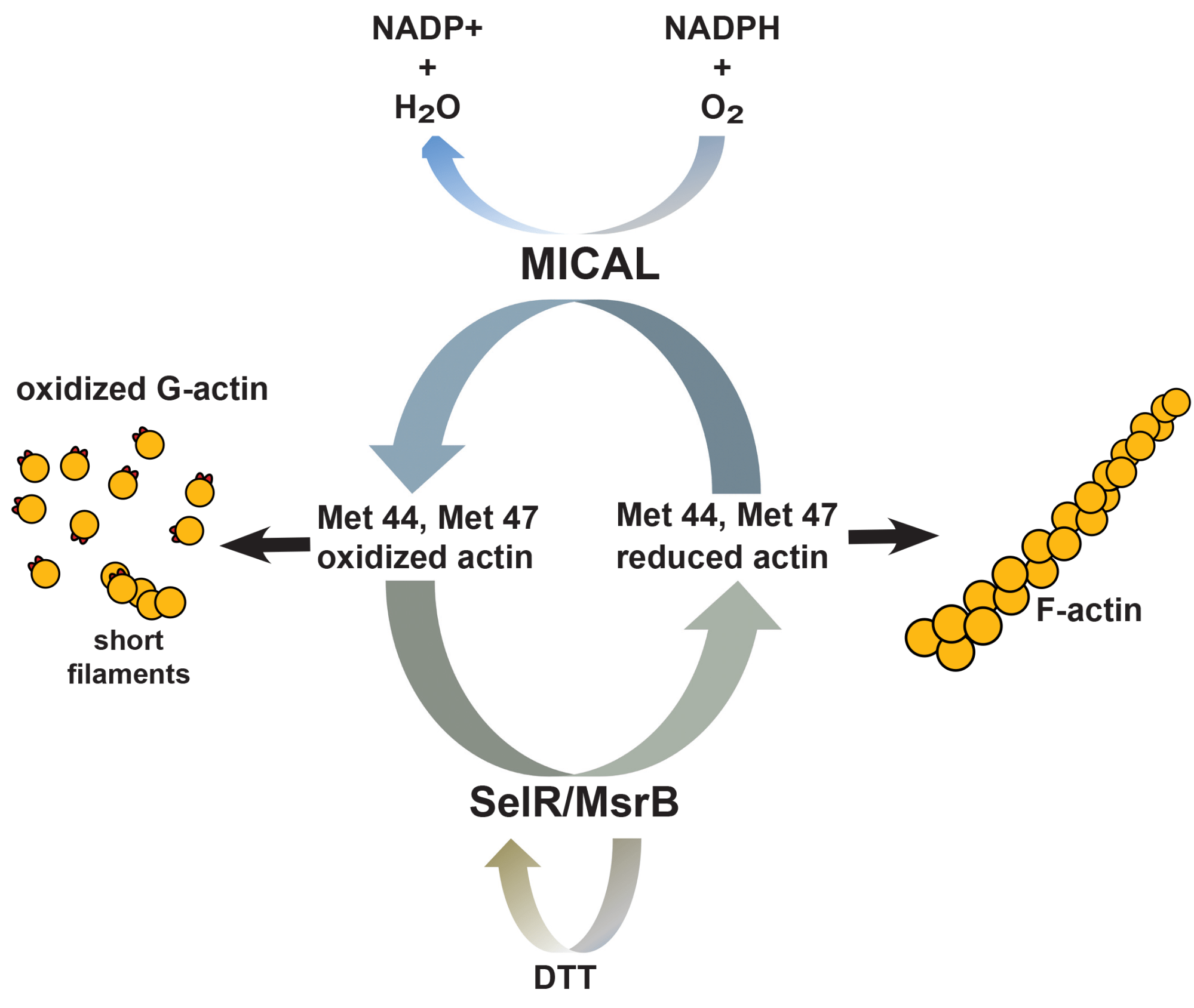 hight resolution of figure legend a schematic diagram of the enzymes that control the physiological and reversible oxidation and reduction of methionines 44 and 47 of actin