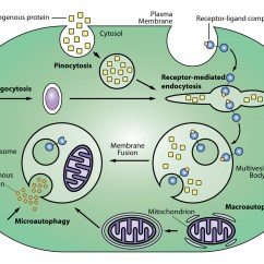 Lysosome Cell Diagram Wiring 2 Way Switch About The Endosomal Pathway