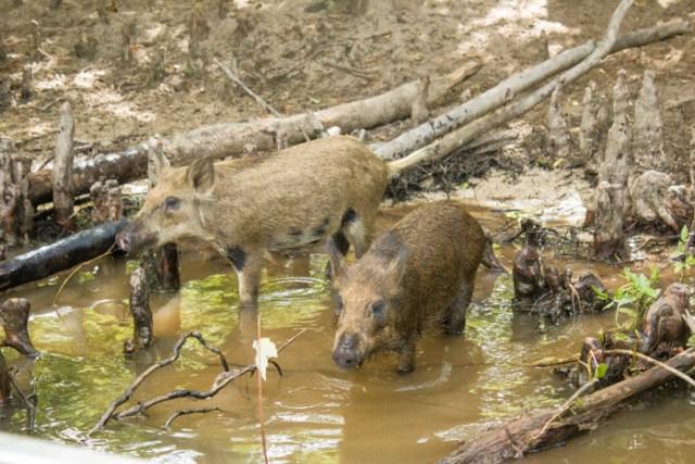 swamp pigs0310