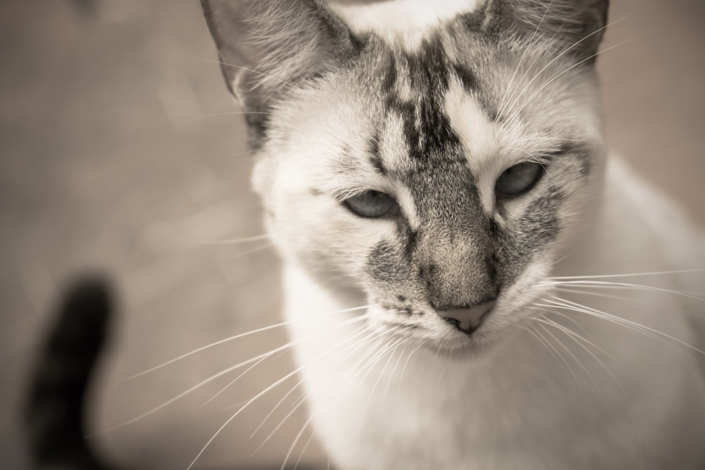 Black and white photo of a white cat looking into the lens.