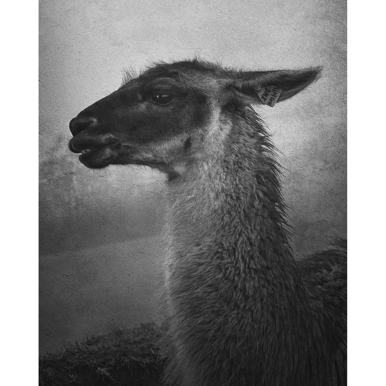 A llama stands in the mist at Machu Picchu, Peru.