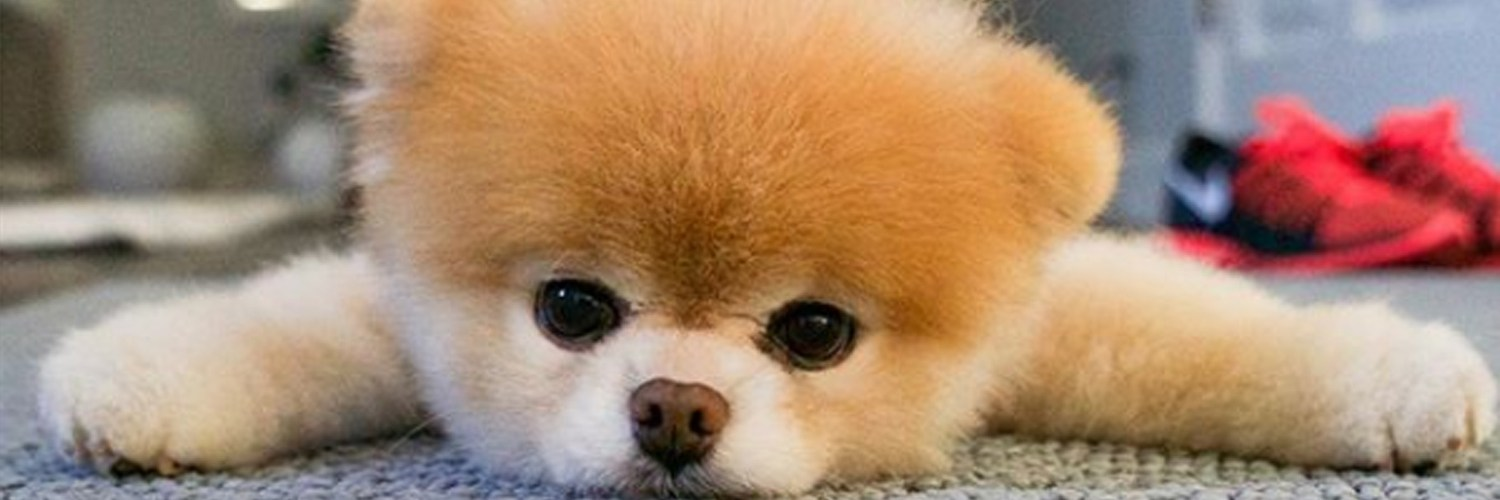 boo the pomeranian dies dapulse entertainment
