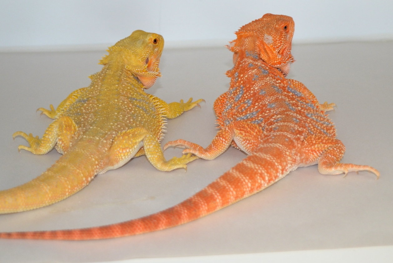 Citrus Bearded Dragons | Dachiu Bearded Dragons
