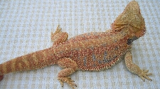 Cawley Red Bearded Dragon