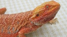 Het Red Hypomelanistic Dragon