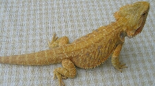 Hypo Yellow Bearded Dragon