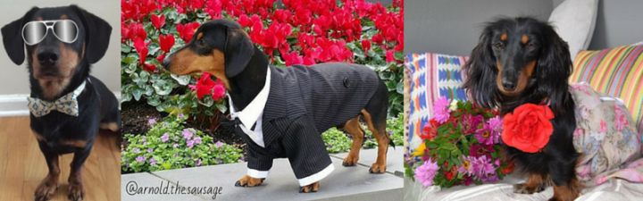 These Doxies Could Be in your Bridal Party
