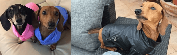 Quiz! What's your doxie's fashion style?