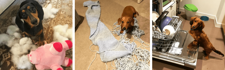 These Dachshunds Are Just Trying To 'Help'