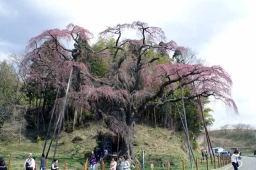 紅枝垂れ地蔵桜は艶やかでした