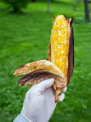 Half-peeled ear of grilled corn