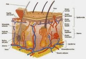 annessi cutanei (fonte)